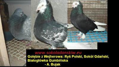 Gołębie rasowe z Wejherowa